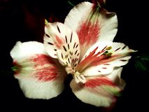 Orchidée sur le noir Photo stock