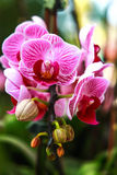Orchidée thaïe Photo stock