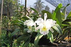 Orchidée thaïlandaise Flowers-22 Photographie stock