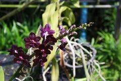 Orchidée thaïlandaise Flowers-21 Photos stock