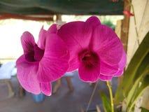 Orchidée Thaïlande Photo libre de droits