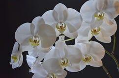 Orchidée transparente blanche sur le fond noir images libres de droits
