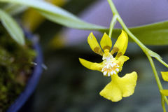 Orchidée, une des plus grandes familles botaniques Photographie stock libre de droits