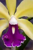 Orchidée, une des plus grandes familles botaniques Photos stock
