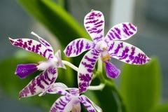 Orchidée, une des plus grandes familles botaniques Photo libre de droits