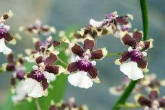 Orchidée, une des plus grandes familles botaniques Photos libres de droits
