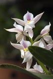 Orchidée, une des plus grandes familles botaniques Images stock