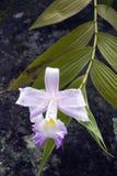 Orchidée, une des plus grandes familles botaniques Images libres de droits
