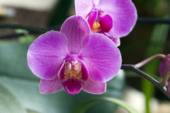 Orchidée, une des plus grandes familles botaniques Image libre de droits