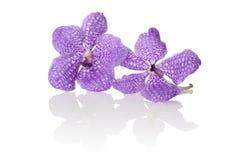 Orchidée Vanda Photographie stock libre de droits