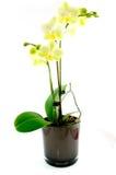 Orchidée verte dans le vase noir photographie stock