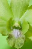 orchidée verte de plan rapproché Image libre de droits