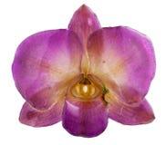 orchidée Violet-verte Photographie stock libre de droits