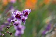 Orchidée violette Images libres de droits