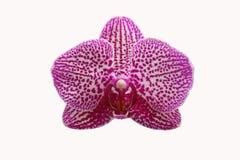 Orchidée violette d'isolement sur le fond blanc Photographie stock
