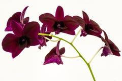 orchidées élégantes - d'isolement Photographie stock