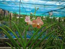 Orchidées épiphytes Fasciatus Rchb de Staurochilus f Débarrassé, rayures de tigre de ruminant Photos libres de droits