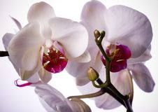 ORCHIDÉES Photos stock