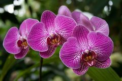 Orchidées Image libre de droits