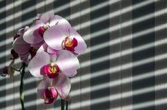 Orchidées avec des ombres des abat-jour et du fond rayé Photographie stock libre de droits