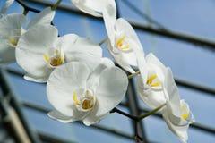 Orchidées blanches Images libres de droits