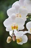 Orchidées blanches Photographie stock