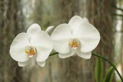 Orchidées blanches Photo libre de droits