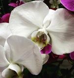 Orchidées blanches Photos libres de droits