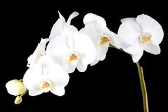 orchidées blanches Images stock