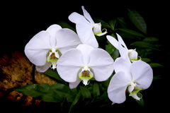 Orchidées blanches de phalaenopsis Images libres de droits