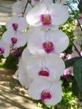 Orchidées blanches de /Tropical d'orchidées Photo libre de droits