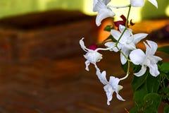 Orchidées blanches de Vanda Images stock