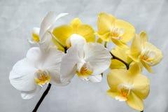Orchidées blanches et jaunes Photos stock