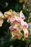 Orchidées blanches et jaunes Photo libre de droits
