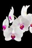 Orchidées blanches et magenta sur le noir Image stock