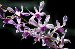 Orchidées blanches et pourprées Images stock