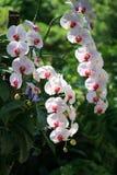 Orchidées blanches et roses Image stock