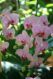 Orchidées blanches et roses Photos stock