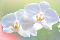 Orchidées blanches molles Photos stock