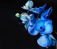 Orchidées bleues Photo stock