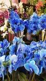 Orchidées bleues Photographie stock libre de droits