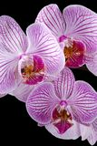 orchidées colorées Photos libres de droits