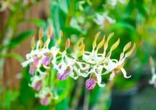 Orchidées colorées de beauté Photo libre de droits