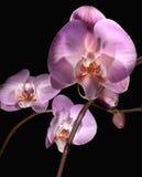 Orchidées contre éclairées photos libres de droits