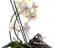 Orchidées. D'isolement. Photo stock