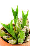 Orchidées dans des pots Photographie stock