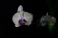 Orchidées dans l'obscurité Photographie stock libre de droits