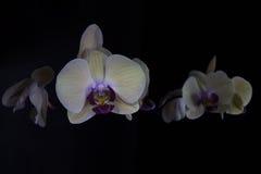 Orchidées dans l'obscurité Photos libres de droits