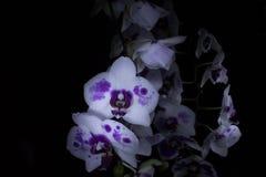 Orchidées dans l'obscurité Photo libre de droits