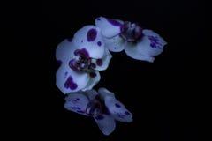 Orchidées dans l'obscurité Photographie stock
